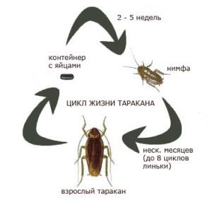 Жизненный цикл тараканов